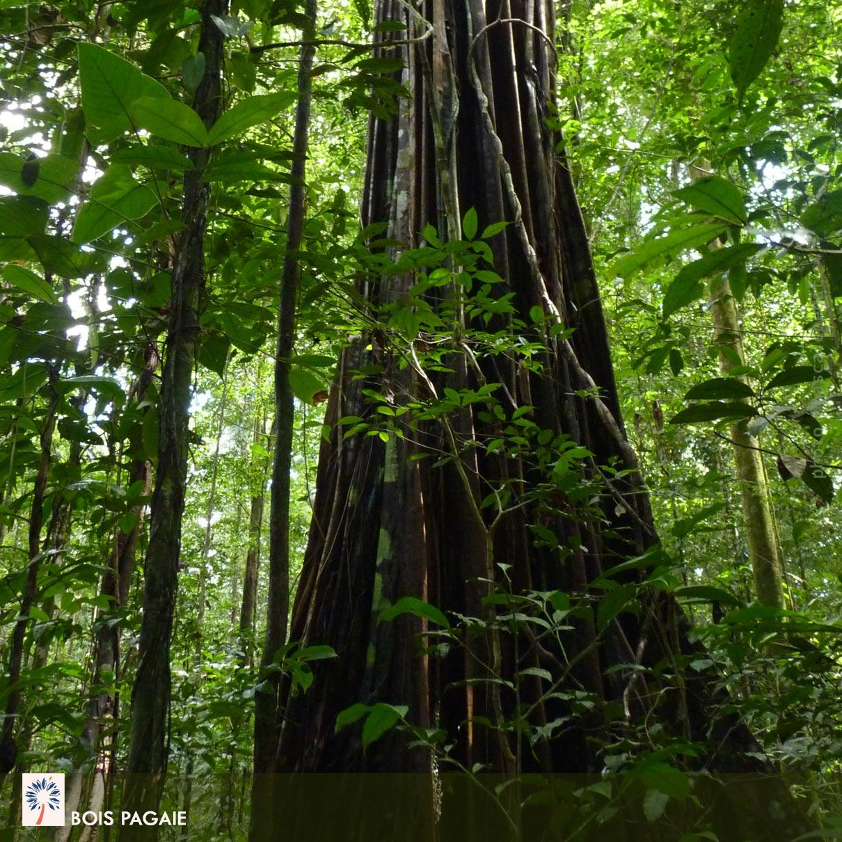 Bois Pagaie- Guyane