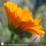 Fleur de souci- calendula