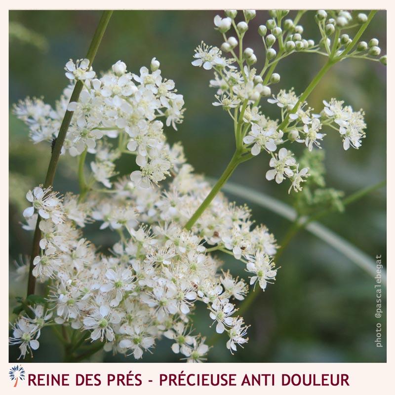 medecine des plantes - reine des prés